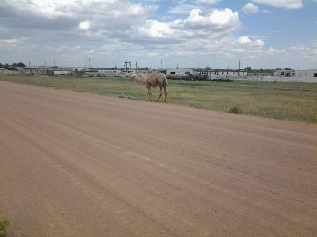 Верблюды Оренбуржья