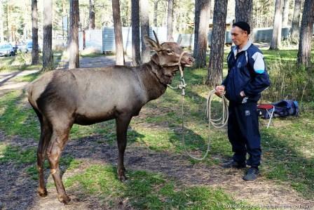 Обитатель алтайских лесов - марал