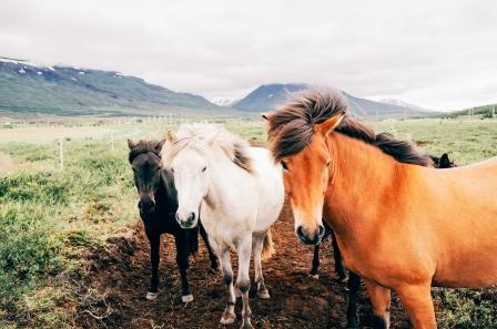 IcelandHorses